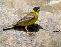 * Black Headed Bunting