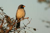 Black-throated  saltator   -   Saltator  atricollis   -