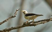 White-headed-Starling