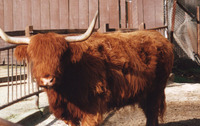 : Bos taurus; Hebrides Milk Cow (domestic)