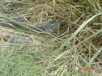 : Thamnophis sirtalis fitchi; Common Garter Snake