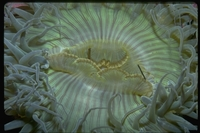: Anthopleura sola; Green Anemone