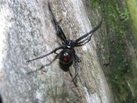 : Latrodectus mactans; Eastern Black-widow