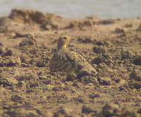Chestnut-bellied Sandgrouse (Pterocles exustus) 2005. január 6. Sonkhaliya Closed Area