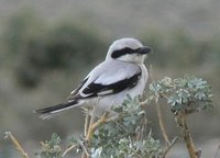 Adult Saxaul Grey Shrike. Photos © A. Braunlich