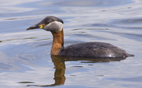 Red-necked Grebe. Photo by Dave Kutilek. All rights reserved.