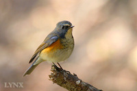 Red-flanked Bluetail 紅脇藍尾鴝