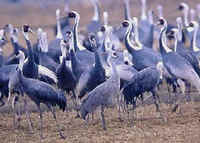 Hooded Cranes (front left & right), & a Sandhill Crane (front center)