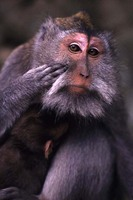 photograph of long-tailed macaque : Macaca fascicularis