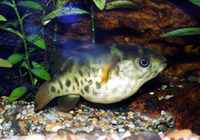 Tetraodon fluviatilis, Green pufferfish: aquarium
