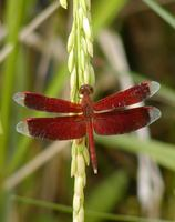 Anisoptera - Dragonflies