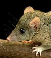 Image of: Monodelphis domestica (gray short-tailed opossum)