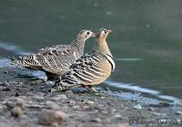 Image of: Pterocles indicus (painted sandgrouse)