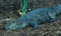 Image of: Caiman latirostris (broad-snouted caiman)