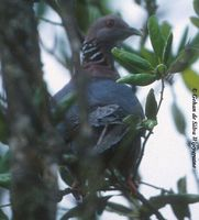 Sri Lanka Wood Pigeon - Columba torringtoniae