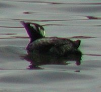 Japanese Murrelet - Synthliboramphus wumizusume