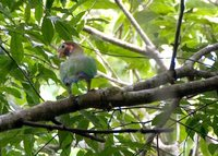 Brown-hooded Parrot - Pionopsitta haematotis