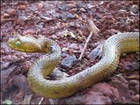 Usambara two-horned viper ready to attack