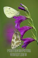 Marbled White ( Melanargia galathea ) and Small White ( Pieris rapae ) on Marsh Gladiolus ( Glad...