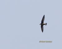 White-throated Needletail » Hirundapus caudacutus