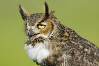 Great Horned Owl hooting, near Lake Kissimmee, Osceola County,