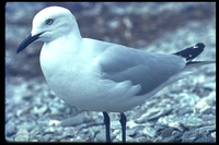 : Larus bulleri; Black-billed Gull