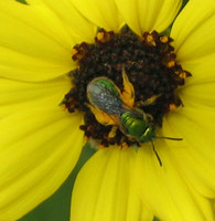 : Agapostemon sp.; Green Metallic Sweat Bee;