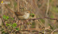Fig. 20. Japanese Bush Warbler : 휘파람새