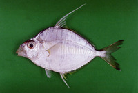 Leiognathus fasciatus, Striped ponyfish: fisheries
