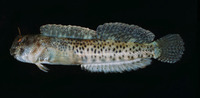 Entomacrodus striatus, Reef margin blenny: aquarium