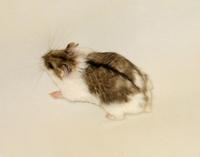 Image of: Phodopus campbelli (Campbell's hamster)