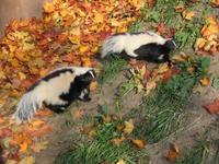 Mephitis mephitis - Striped Skunk