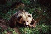 Ursus arctos arctos - European Brown Bear