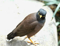 Image of: Acridotheres tristis (common myna)