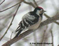 Lesser Spotted Woodpecker - Dendrocopos minor