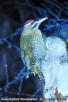 Scaly-bellied Woodpecker - Picus squamatus