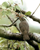 Plain-backed Thrush - Zoothera mollissima
