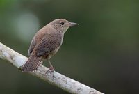 Tropical House Wren (Troglodytes musculus) photo