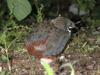 Blue-breasted Quail - Coturnix chinensis