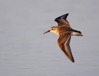 Western Sandpiper (Calidris mauri) photo