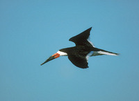 Black Skimmer (Rynchops niger) photo
