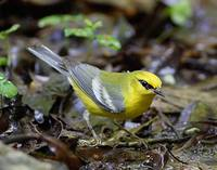 Blue-winged Warbler (Vermivora pinus) photo