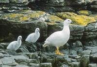 Kelp Goose (Chloephaga hybrida) photo