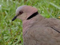 Red-eyed Dove - Streptopelia semitorquata