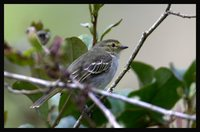 Golden-faced Tyrannulet - Zimmerius chrysops