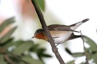 Red-breasted Flycatcher - Ficedula parva