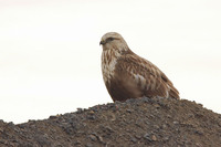 : Buteo lagopus; Rough-legged Hawk