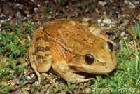 : Rana draytonii; California Red-legged Frog
