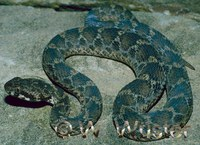 : Echis pyramidum; Saw-scaled Viper
