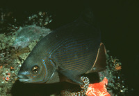 Embiotoca lateralis, Striped seaperch: fisheries, gamefish, aquarium